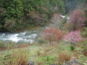 テラス下,桃・桜が咲き始めた_AM0830・0407