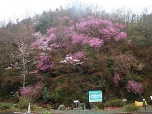 「木の香温泉」のミツバツツジ